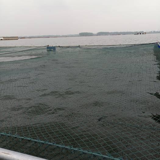 安徽省淮南市凤台县网箱草鱼 人工养殖 1.5-6公斤