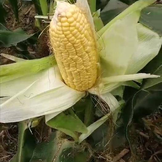 山东省济南市济阳区 鲜玉米,甜玉米