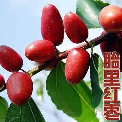 山东省临沂市平邑县 胎里红枣枣树苗 现挖发货 产地直销枣树苗