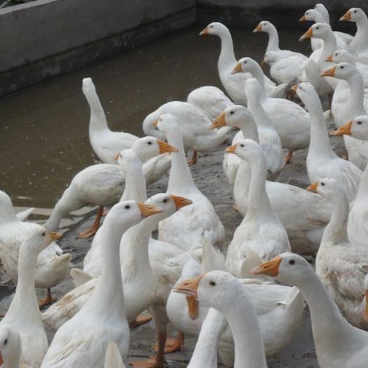 陕西省西安市周至县 半散养大白鹅