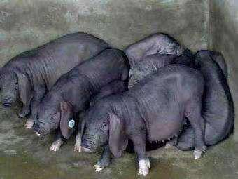 江苏省盐城市响水县 原种太湖二元苏太母猪大量出售,量大优惠