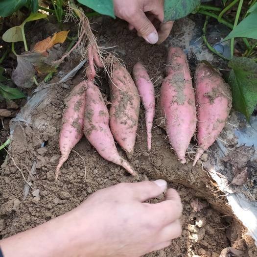内蒙古自治区通辽市库伦旗 商薯19!西瓜红!烟薯25!万亩沙地红薯大面积开园。