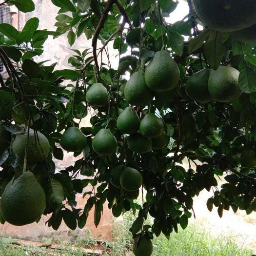 广西壮族自治区桂林市阳朔县沙田柚 1.5斤以上