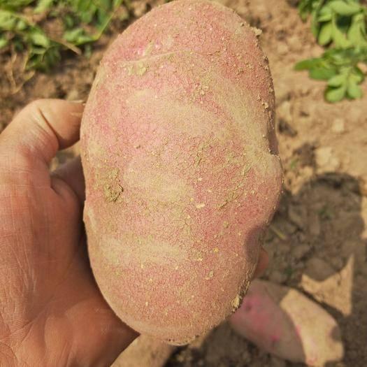 青海省海东市乐都区 青薯9号精品货