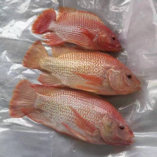 广东省江门市台山市 长期供应彩虹鲷,星洲红,规格0.6-3斤