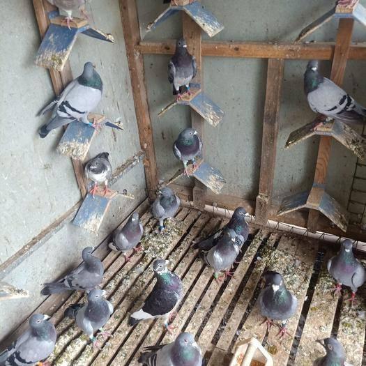 江苏省宿迁市宿豫区 农家散养土鸽子放养肉鸽活体青年鸽 原配种鸽 一对 包成活