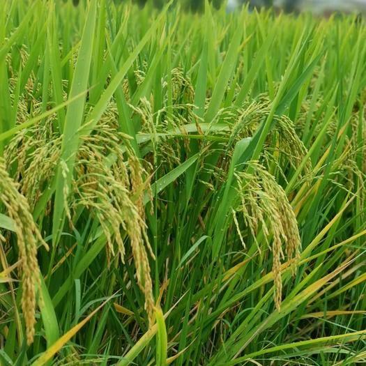 安徽省安庆市宿松县杂交稻 自己家种的200亩水稻快要收割啦!价格优惠。