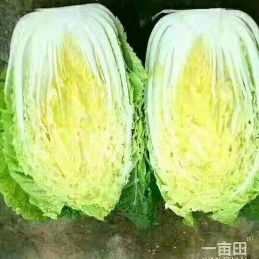 吉林省四平市公主岭市黄心大白菜 3~6斤 净菜