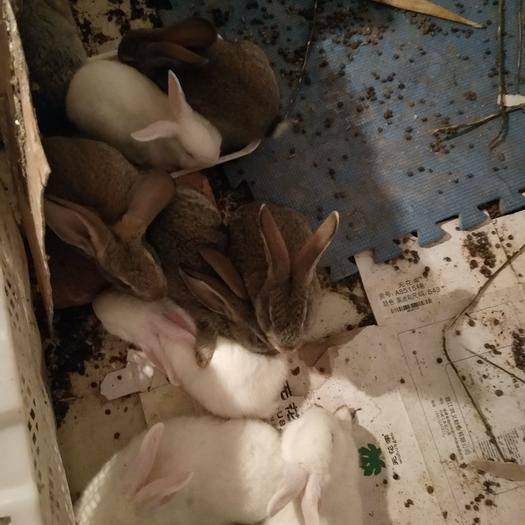 山东省济宁市嘉祥县比利时野兔 比利时,野兔,肉兔