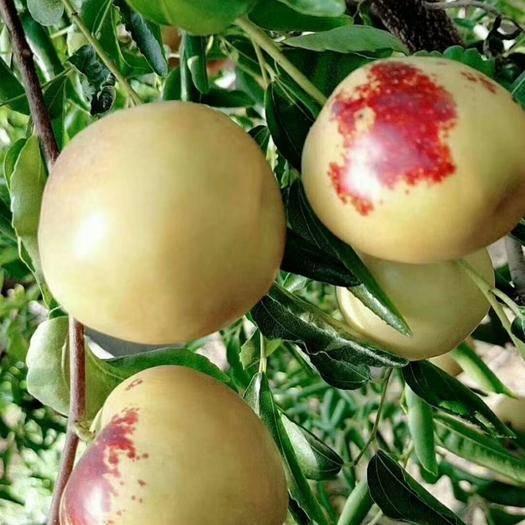 山东省滨州市滨城区 一日三枣,容颜不老。沾化冬枣被誉为天下第一神果舌尖上的美味
