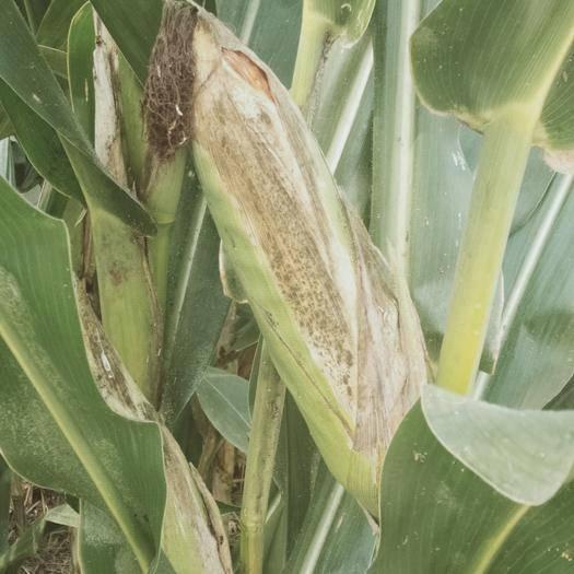 河北省保定市定州市玉米湿粮 玉米杆和玉米一起卖