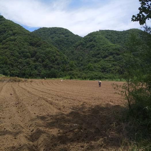 安徽省池州市贵池区 今年刚晒干的纯白芝麻,无化肥农药种植