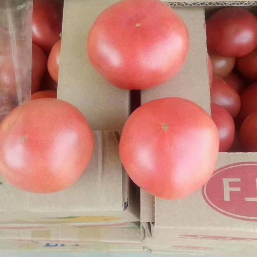 河南省安阳市安阳县硬粉番茄 通货 弧二以上 硬粉