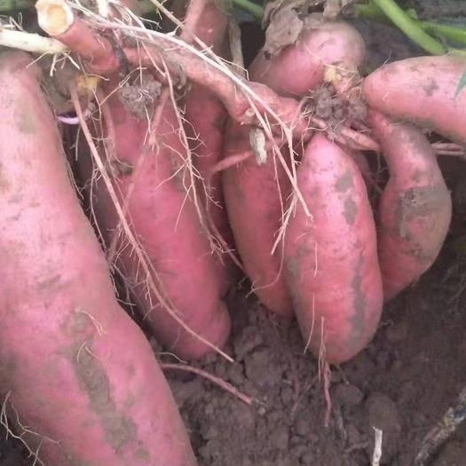河北省保定市易县济薯26号红薯 济薯26