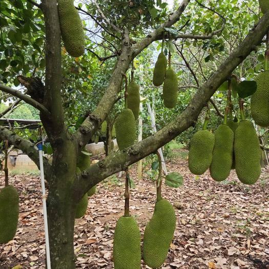 海南省万宁市万宁市 海南正宗的菠萝蜜香香甜甜。