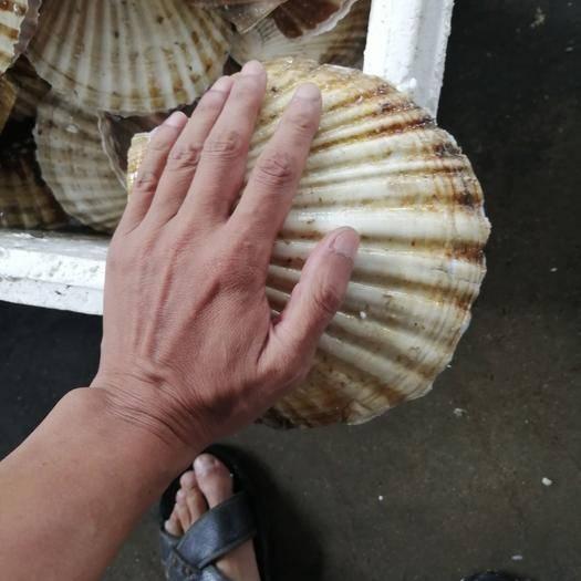 辽宁省丹东市东港市夏贻贝 夏怡贝,小船海螺,刀把蛏各种规格