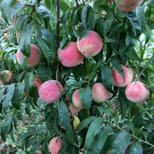山东省潍坊市临朐县 金秋红蜜桃,高山种植,香甜可口
