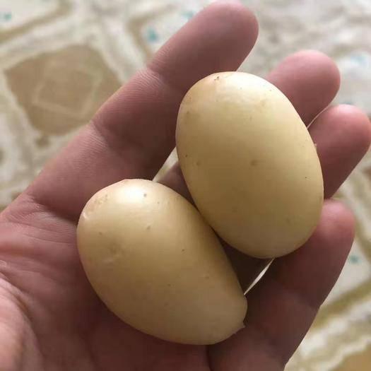 河北省张家口市张北县V7土豆 多个品种微型薯种子预订,V7  V8  V9,黄心226,