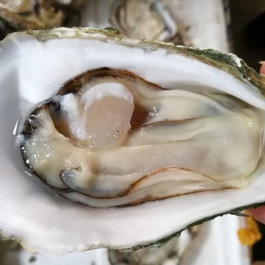 广东省湛江市坡头区湛江牡蛎 湛江生蚝