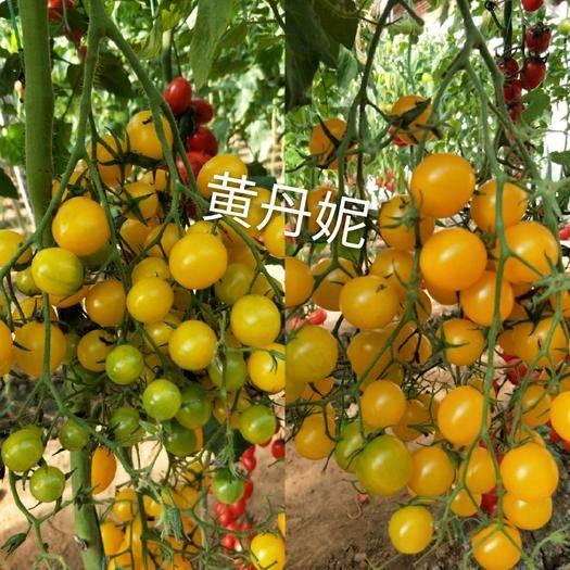 山东省潍坊市寿光市 小黄樱桃番茄种子