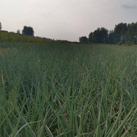 安徽省阜阳市颍东区 葱,四季葱,沙地种植,干净翠绿,基地直发,量大从优。