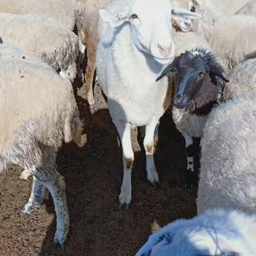内蒙古自治区呼和浩特市武川县 出售小尾寒羊,数量有限,100多只80-120斤每只1600