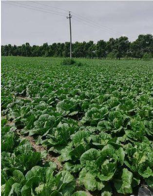 山东省潍坊市坊子区 各品种白菜大量上市