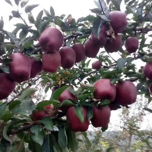 甘肃省天水市清水县 天水正宗花牛苹果