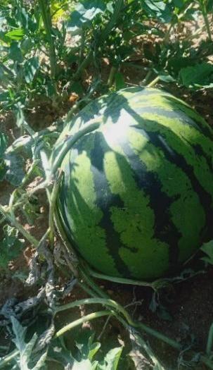 内蒙古自治区乌兰察布市四子王旗地雷西瓜 5斤打底 9成熟 2茬 有籽