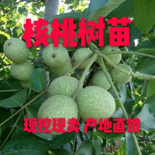 山东省临沂市平邑县8518核桃苗 8518薄皮核桃  盆栽地栽  南北方种植