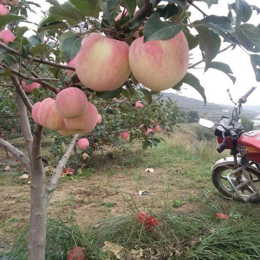 甘肅省平涼市莊浪縣首紅蘋果 早熟富士,首紅,嘎啦,