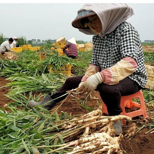 四川省攀枝花市仁和区 小黄姜 支持全国带发货