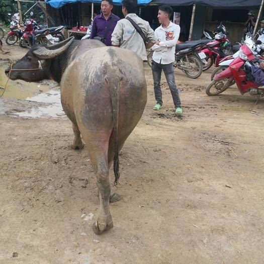 广西壮族自治区百色市德保县水牛 1000斤以上 公牛