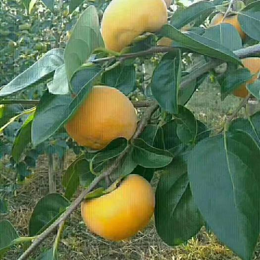 山西省运城市临猗县 秋意浓,柿子红,正是吃柿好时候,成熟的柿子中含糖15%