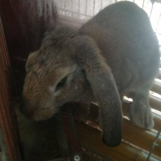 山东省济宁市嘉祥县 比利时,伊拉,公羊兔