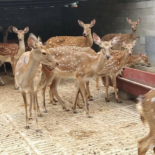山東省濟南市歷下區 梅花鹿 鹿人工馴養的小鹿 種鹿各種規格梅花鹿