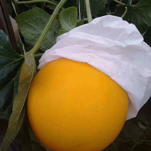 山东省潍坊市寿光市娇蜜25 各种香瓜,小番茄