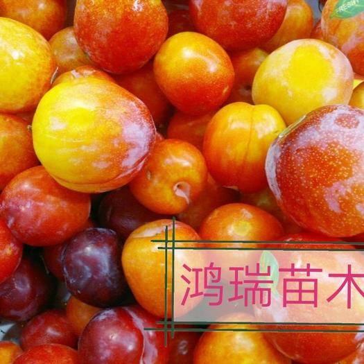 山东省临沂市平邑县蜂糖李树苗 蜂糖李子,品种保证,基地直销。