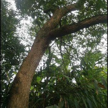 紅樟木樹跟種子
