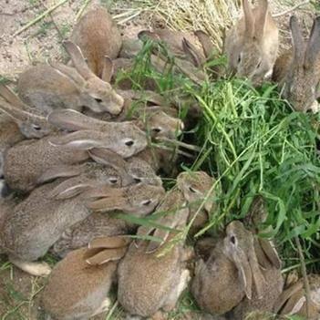 雜交野兔35元一只包郵,送藥送兔糧,送養殖技術資料。