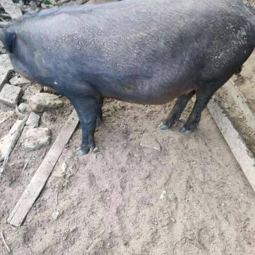 天津市蓟州区 农家散养土猪土猪全部由我父亲散养