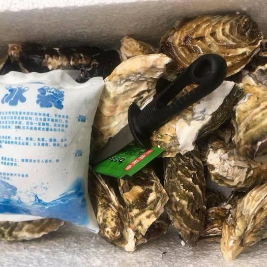 福建省漳州市诏安县 牡蛎生蚝