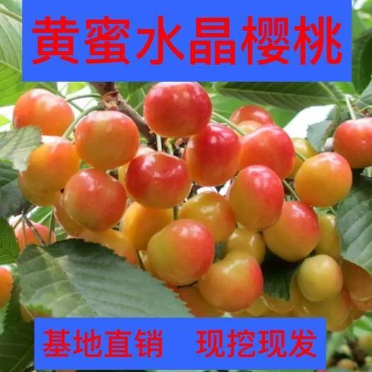 山东省临沂市平邑县 黄密水晶樱桃苗,冰糖心,果粒大,丰产,品种纯,南北方均可种植