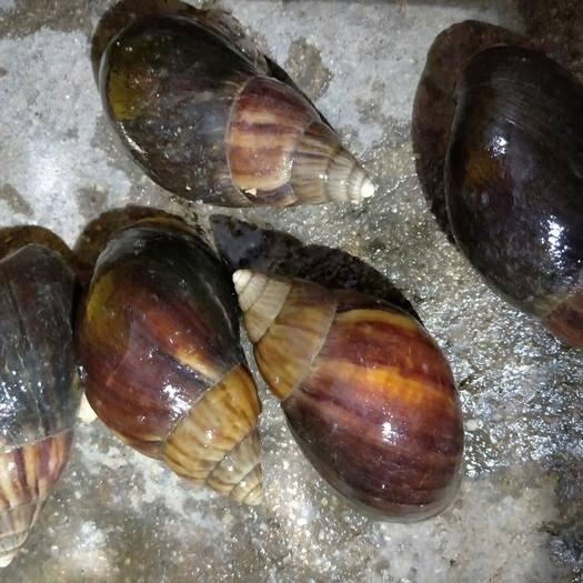 广东省湛江市遂溪县 蜗牛