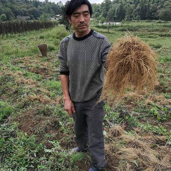 贵州高山无污染缬草精油种植基地