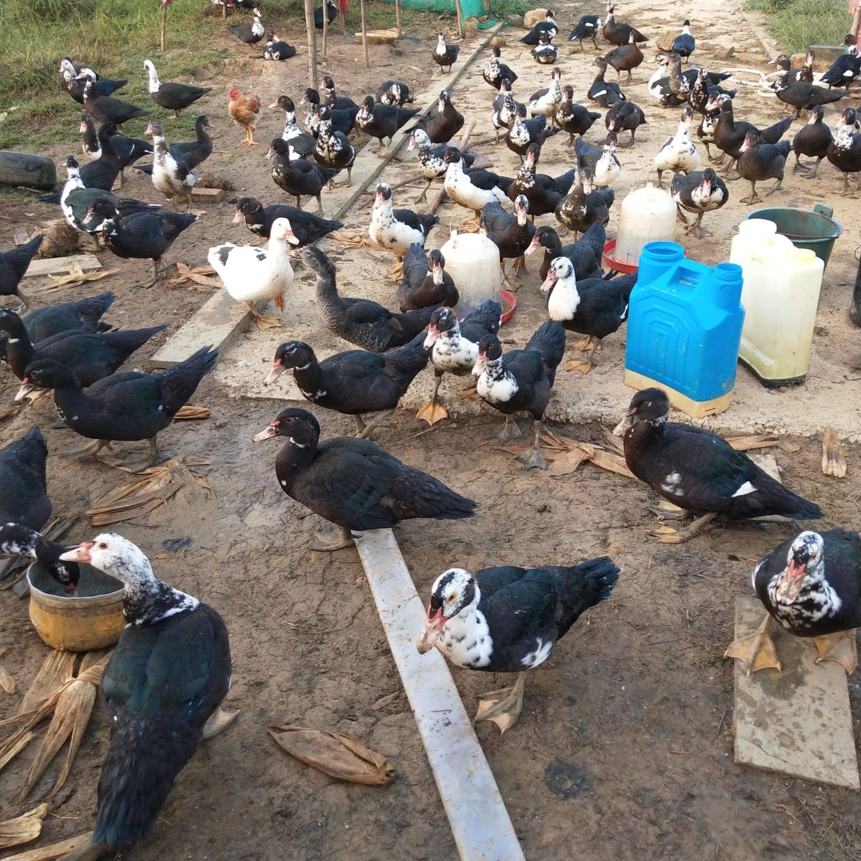 [鸭肉类批发]鸭肉类 放养火鸭,只喂玉米,米糠,蔬菜,青草,批发每斤二十元价格20元/斤