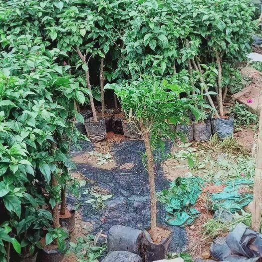 云南省昆明市宜良縣云南紫三角梅苗 自家苗大量出售
