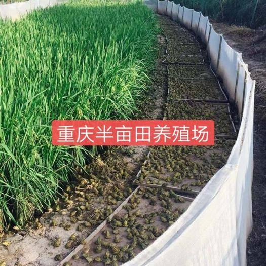 重庆市石柱土家族自治县青蛙蝌蚪 江西赣州严哥大老远坐飞机到半亩田考察青蛙养殖项目。