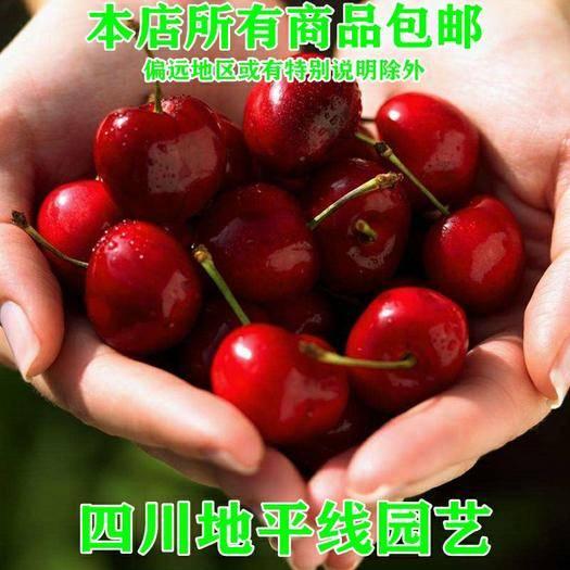 四川省南充市嘉陵區 櫻桃種子山櫻桃新種子包郵