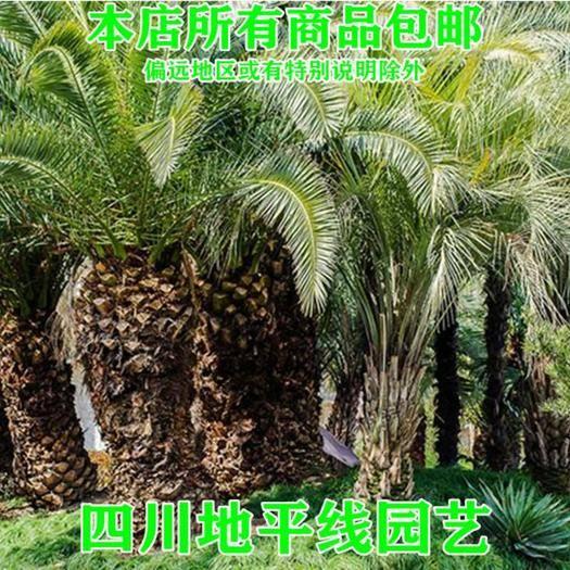 四川省南充市嘉陵区 中东海枣种子新种子包邮